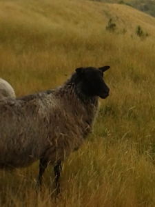 Gotland sheep near Blenheim NZ
